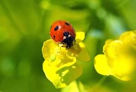 Distribution de larves de coccinelles à Caen pour remplacer les pesticides dans les jardins