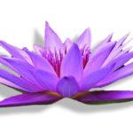 Les elixirs floraux , les découvrir, les créer....